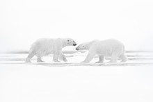 Polar Bears With Killed Seal. ...