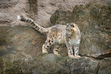 Snow Leopard With Long Taill, ...
