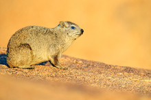 Hyrax On Stone In Rocky Mounta...