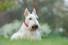 White Dog, Scottish Terrier On Green Grass Lawn With White Flowers In The Background, Scotland, United Kingdom.