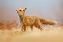 Red Fox Hunting, Vulpes Vulpes...