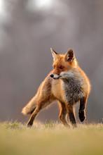 Red Fox Hunting, Vulpes Vulpes...