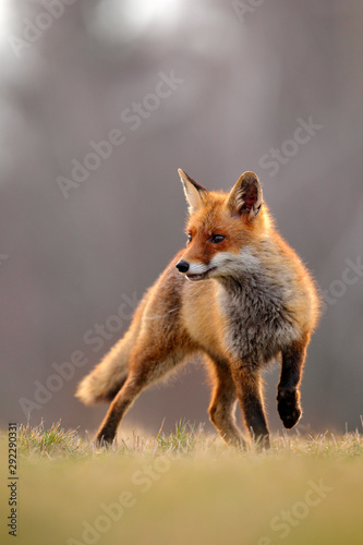 Red Fox hunting, Vulpes vulpes, wildlife scene from Europe Canvas-taulu