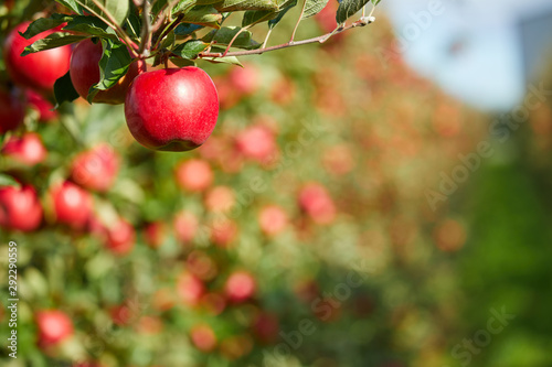 Foto Shiny delicious apples hanging from a tree branch in an apple orchard
