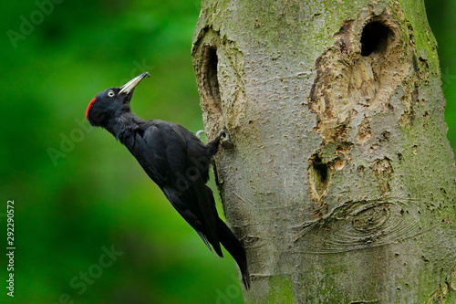 Obraz na płótnie Woodpecker with chick in the nesting hole