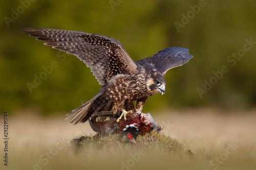 Photo Peregrine falcon with caught kill Pheasant