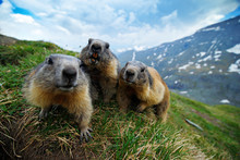 Cute Fat Animal Marmot, Sitting In The Grass With Nature Rock Mountain Habitat, Alp, Italy. Wildlife Scene From Wild Nature. Funny Image, Detail Of Marmot.
