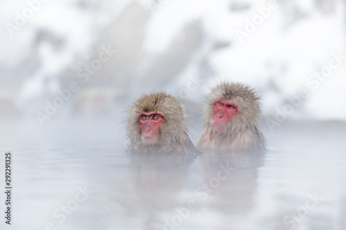 Obraz na plátne Family in the spa water Monkey Japanese macaque, Macaca fuscata, red face portrait in the cold water with fog, animal in the nature habitat, Hokkaido, Japan