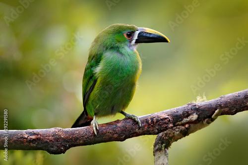 Toucanet, Aulacorhynchus prasinus, green toucan in the nature habitat, Colombia Canvas Print