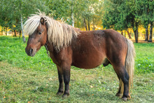 Brown Pony With White Mane On ...