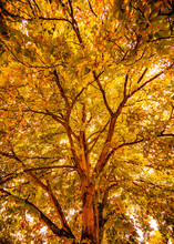 Golden Autumn Background Poster Of Great Oak Trees In Westfield Churchyard, East Sussex, England