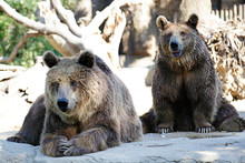 Two Brown Bears (Ursus Arctos)...