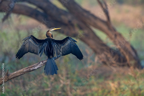 Fotografie, Tablou  Darter or snakebirds in the family Anhingidae, Bharatpur, Rajasthan, India