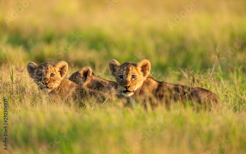 lion-cubs-in-a-morning-light-amboseli-kenya