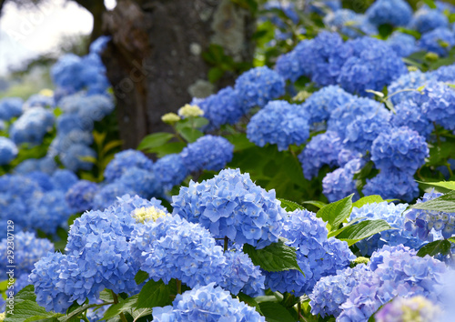 Papiers peints Hortensia Selective focus on beautiful bush of blooming blue, purple Hydrangea or Hortensia flowers (Hydrangea macrophylla) and green leaves under the sunlight in summer. Natural background.