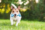 Fototapeta Zwierzęta - Happy and cheerful dog playing fetch with toy bone at backyard lawn