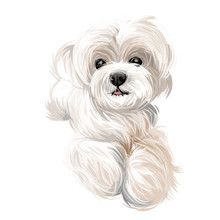 Maltese Puppy, Canis Maelitacus Breed Of Toy Type
