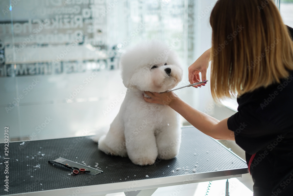 Fototapety, obrazy: Bichon Fries at a dog grooming salon