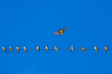 Sparrows Perched On Wires With The Back Is A Blue Sky