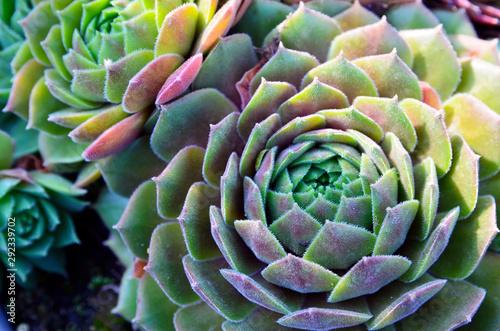 Fototapeta Echeveria elegans tropical succulent plants as a floral background. Decorative houseplants concept. Selective focus. obraz