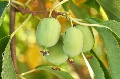 Wallpaper Mural ripe vitamin fruit berry delicious actinidia (kiwi)