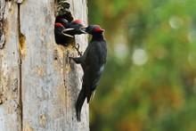 Black Woodpecker (Dryocopus Martius) Feeding Chicks At The Nest Hole, Biebrza National Park, Poland, Europe