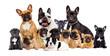 group dog breed French Bulldog