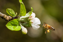 Bee On A Apple Blossom
