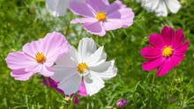 Beautiful Pink Cosmos Bipinnat...