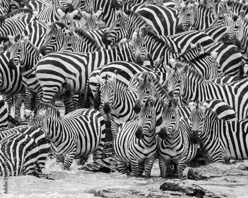Fototapeta zebra herd obraz