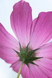 beautiful pink Cosmos bipinnatus flower