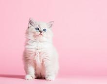 Ragdoll Cat, Small Cute Kitten Portrait On Pink Background