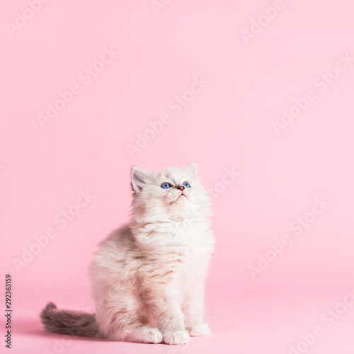 Ragdoll cat, small cute kitten portrait on pink background Wallpaper Mural