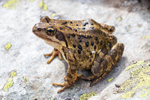 Brown Frog On A Stone At The M...