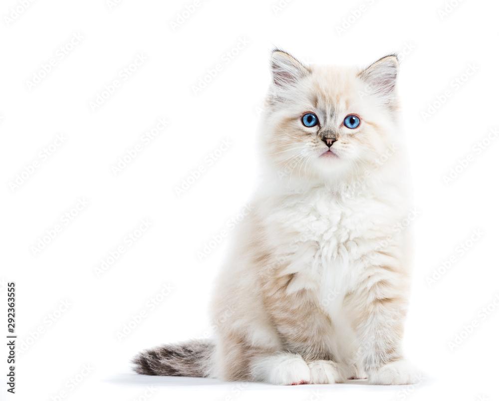 Fototapety, obrazy: Ragdoll cat, small kitten portrait isolated on white background