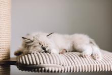 Ragdoll Cat, Small Kitten Slee...
