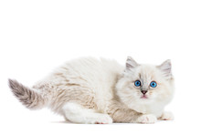 Ragdoll Cat, Small Funny Kitten Play Isolated On White Background