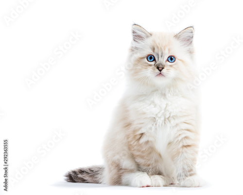 Ragdoll cat, small kitten portrait isolated on white background - 292363555