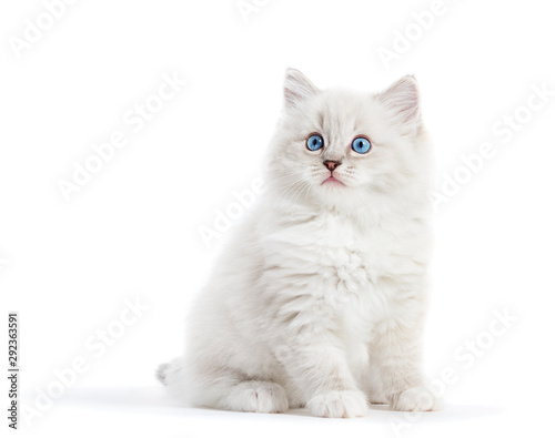 Ragdoll cat, small white kitten portrait isolated on white background Poster Mural XXL