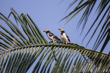 Black Collared Starling On Coconut Tree