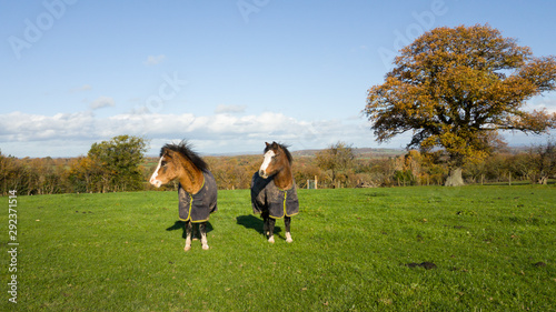 Pretty ponies standing in field wearin matching rugs to keep them warm Canvas Print