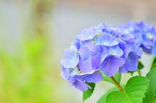 Purple Hydrangea Flowers Against Blurred Green Background