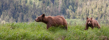 Grizzly Bear In British Columbia Great Bear Rainforest