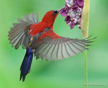 Crimson Sunbird On Flight