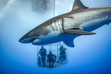Great White Shark, Guadalupe I...