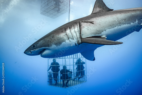 Great White Shark, Guadalupe Island, Isla Guadalupe, White Shark, Cage Diving Fototapet