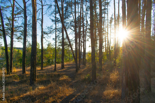 Fototapety, obrazy: the rays of the sun at sunset pierce the trees in the forest