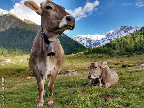 In alpe - vacche al pascolo Fototapeta