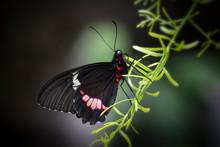 Cattle Heart Butterfly On Green Vegetation