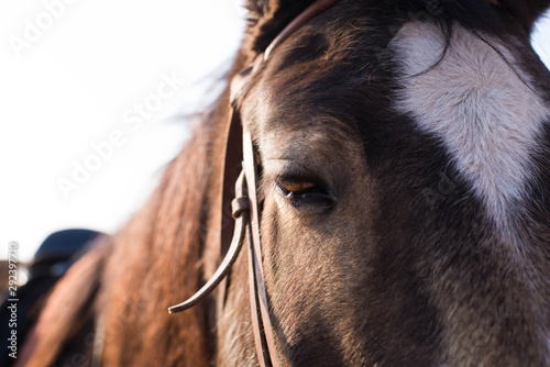 Photo brown horse muzzle with bridle close